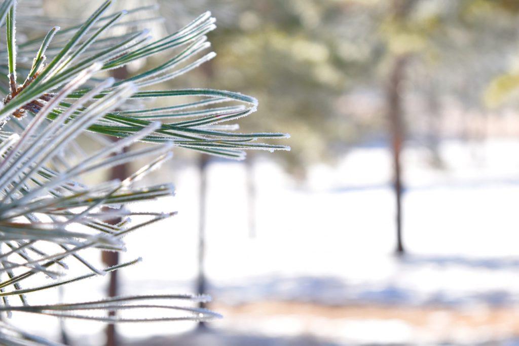 Needles_Frost